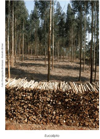 O crescente mercado de Biomassa de Eucalipto